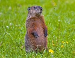 Woodchuck (not in Hudson)